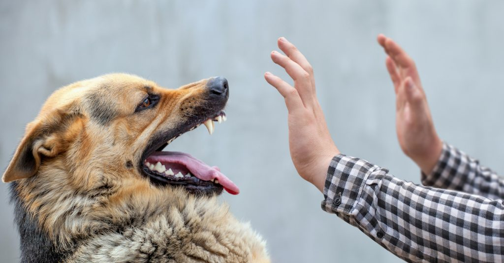 Picture of a German shepherd about to bite a man on the hand.
